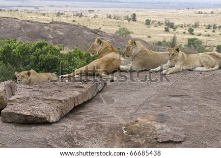 A lion pride rests upon a rock after a meal in the Masai Mara. - stock photo