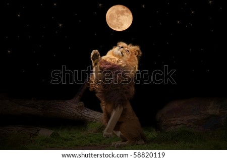 A lion reaching for the moon - stock photo