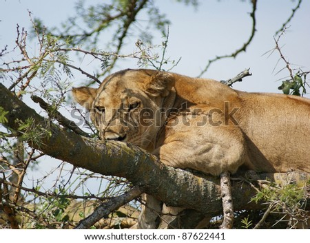 a Lion resting on a tree in Uganda (Africa) - stock photo