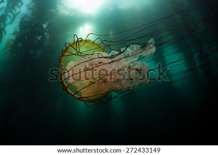 A Lion's mane jellyfish (Cyanea capillata) swims next to a kelp forest off the coast of Monterey, California. This giant stinging jelly can grow huge with tentacles reaching over 100 ft long. - stock photo