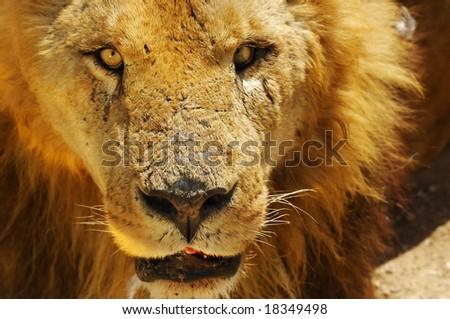 A lion's portrait in safari park. - stock photo