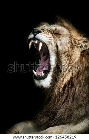 A Lion shows its mighty jaws and regal mane. A true King of the Mara. - stock photo
