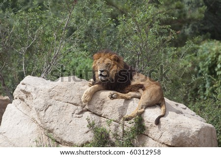 A lion sleeping on the rock