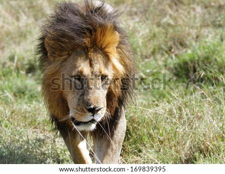 A lion walking on the Masai Mara grassland - stock photo