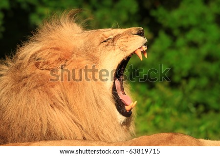 a lion yawns showing its sharp teeth - stock photo