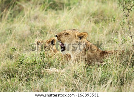 A lioness and her baby relaxing - stock photo