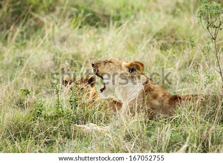 A lioness and her cub - stock photo