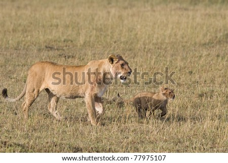 A lioness and her cub walk the plains of the Masai Mara. - stock photo