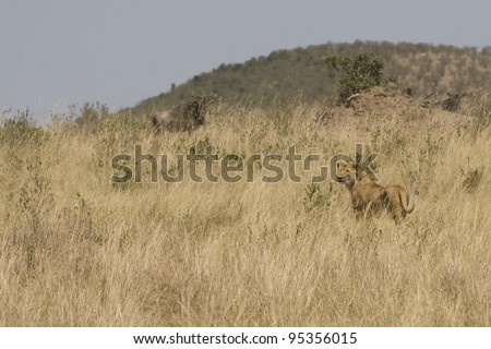 A lioness chases a herd of wildebeeest in attempt to kill (black & white). - stock photo