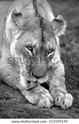 A lioness cleans and grooms her paws. - stock photo