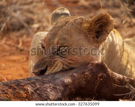A lioness feasts on a wildebeest in the Madikwe Game Reserve, South Africa - stock photo