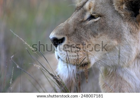 A lioness focussing in this close side on profile - stock photo
