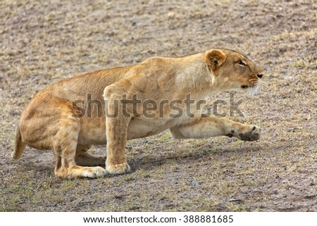 a lioness hunting at the masai mara  - stock photo