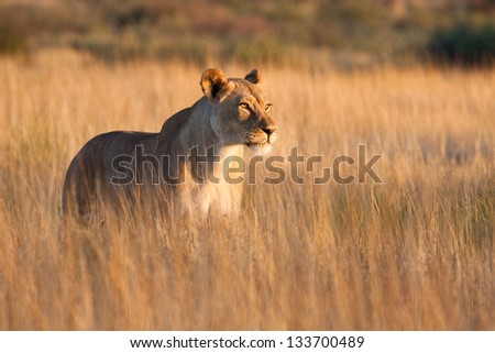 A lioness in long grass - stock photo