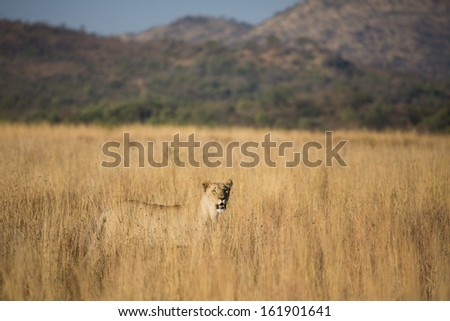 A lioness in Pilanesberg National Park, South Africa, walking through tall grass - stock photo