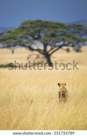 A lioness in the Serengeti National Park, Tanzania, Africa - stock photo