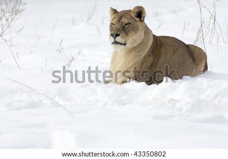 a lioness in winter scene - stock photo