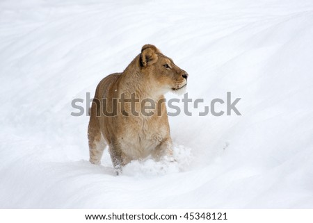 a lioness in winter scene - stock photo