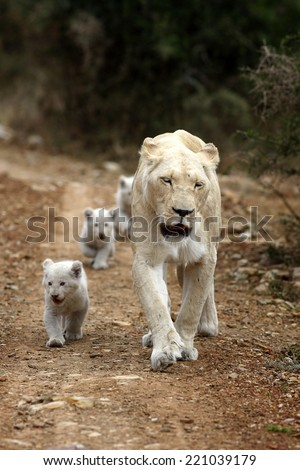 A lioness leads her cubs to food. - stock photo