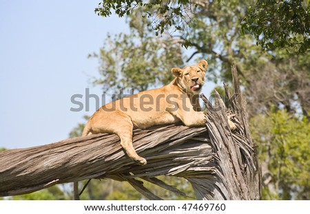 a lioness licking while she rests on a dead tree, masai mara - stock photo