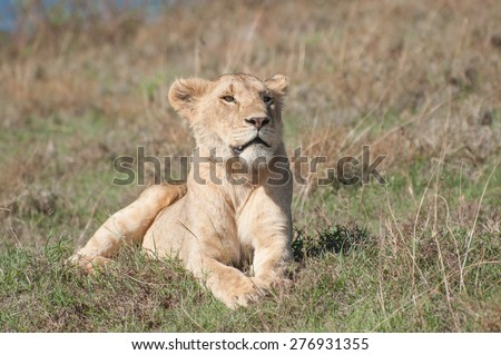A lioness lies in some short grass on a low hill inside the ngorongoro crater while enjoying the early morning sun. She stares out in front of her. - stock photo