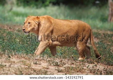 A lioness looking for food
