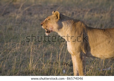 A lioness looks for her young cub on the plains of the Masai Mara. - stock photo
