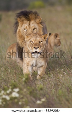 A lioness mock charges the camera to show protection of young lion cubs. - stock photo