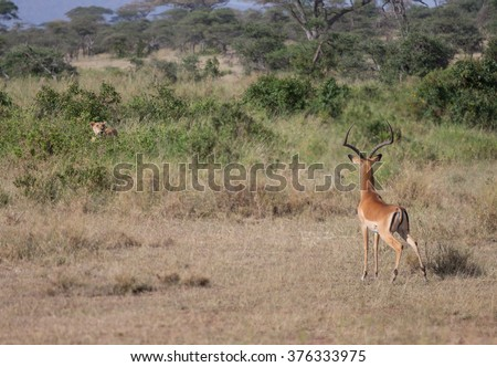 A lioness on the hunt for Thomson's gazelle at the plains of Serengeti, Tanzania. - stock photo