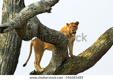 A lioness (Panthera Leo) on a tree in Serengeti National Park, Tanzania - stock photo