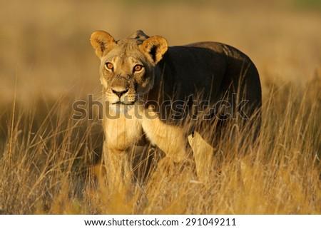 A lioness (Panthera leo) walking in early morning light, Kalahari desert, South Africa - stock photo
