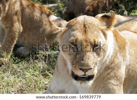 A lioness protrait - stock photo
