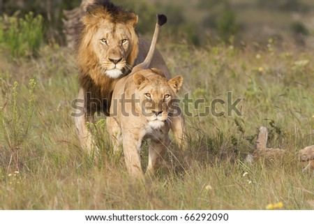 A lioness shows her distaste and aggression prior to a charge. - stock photo