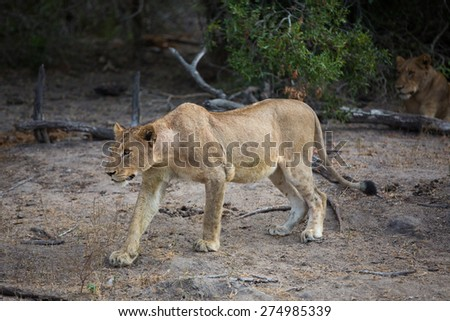 A lioness stalking another member of her pride - stock photo