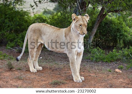 A lioness stretches after waking up to start to hunt - stock photo