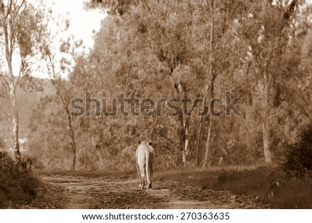 A lioness walks away with beautiful forest setting and path. - stock photo