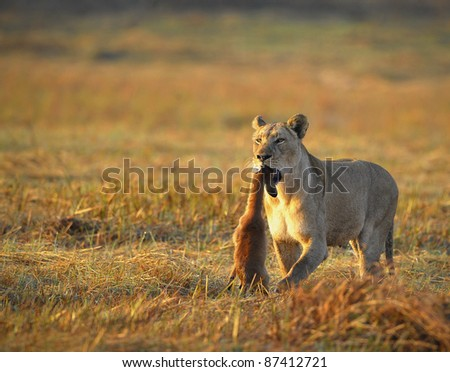 A lioness with new-born antelope prey. The lioness goes on savanna with the killed kid of an antelope. A yellow grass. The morning sun. - stock photo