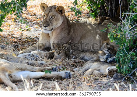 A lioness with three very young cubs