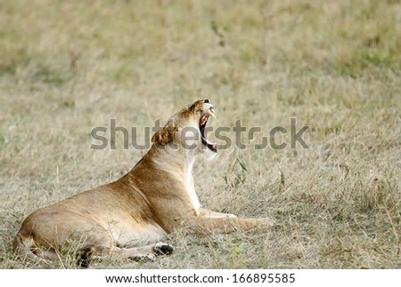 A lioness yawning - stock photo