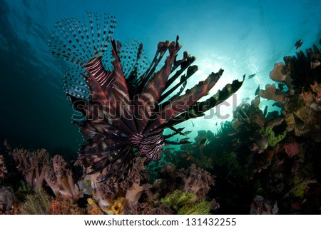A lionfish (Pterois volitans) swims along the edge of a reef dropoff near the island of Komodo, Indonesia.  This region is extremely biodiverse and has excellent scuba diving. - stock photo