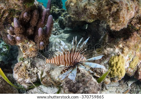 A Lionfish (Pterois volitans) swims around a coral reef off the coast of Belize. This species is not native and is changing the marine ecosystem throughout the Caribbean Sea. - stock photo