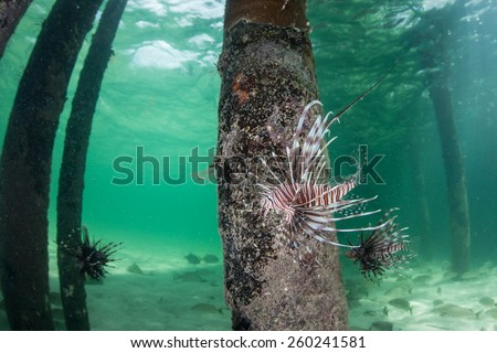 A Lionfish (Pterois volitans) swims under a pier off Turneffe Atoll in Belize. This fish is a recent alien introduction to the Caribbean and is causing major ecological change on coral reefs. - stock photo