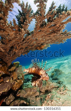 A lionfish swims underneath a table coral on a reef - stock photo