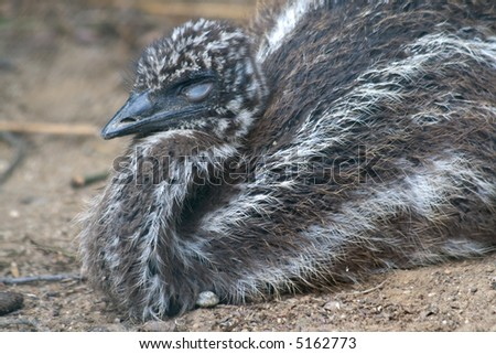 a litlle bird Emu from The Australia - stock photo