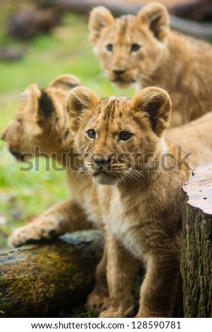 A litter of adorable lion cubs - stock photo