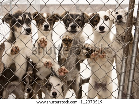 A litter of seven puppies in training to become sled dogs stand and wait for visitors behind a chain link fence. - stock photo
