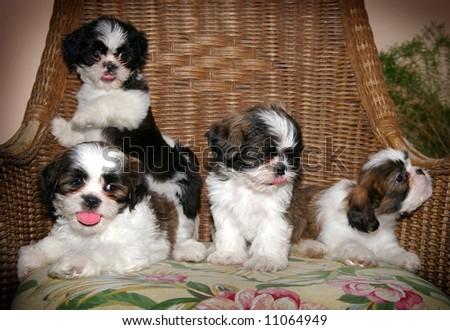 a litter of shitzu puppies - stock photo