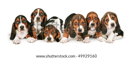 A litter of six week old Basset Hound puppies lined up in a row - stock photo