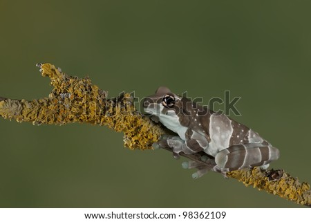 A little Amazon Milk Frog (Phrynohyas resinifictrix) resting on a branch - stock photo
