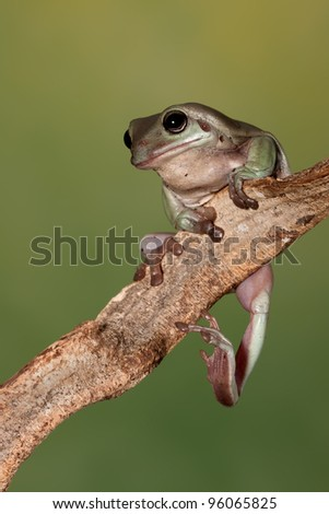 A little Austrailian tree frog (Litoria Caerulea) stretching his leg